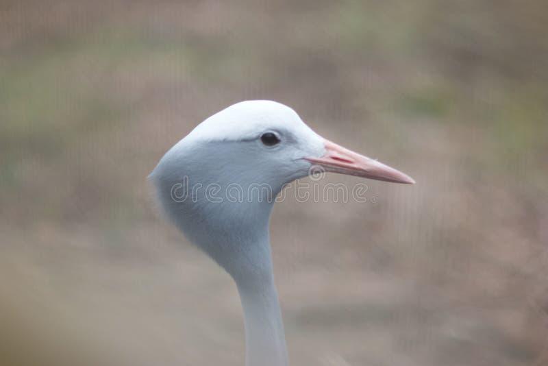 Portrait of blue crane stock image