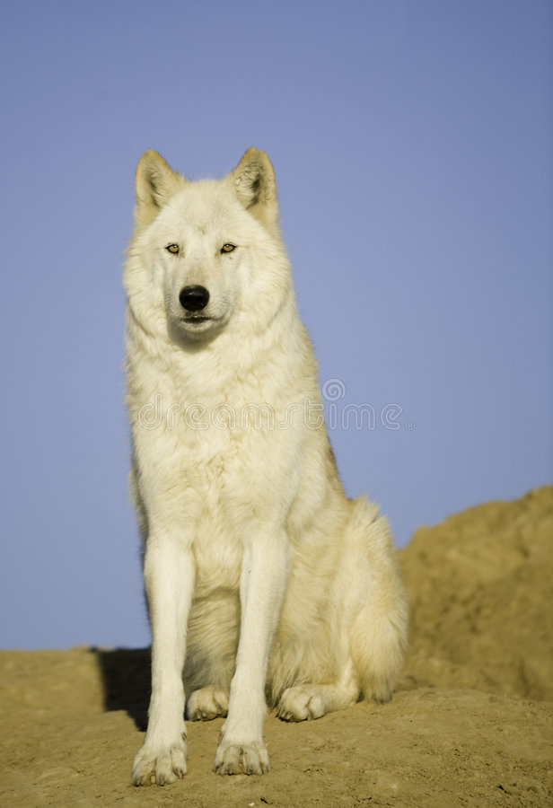 Antro do lobo fotos de stock