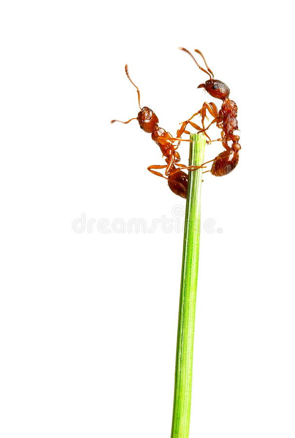 Free Ants Royalty Free Stock Images - 2617599