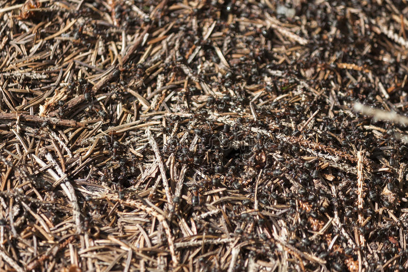 Ants in an anthill stock image