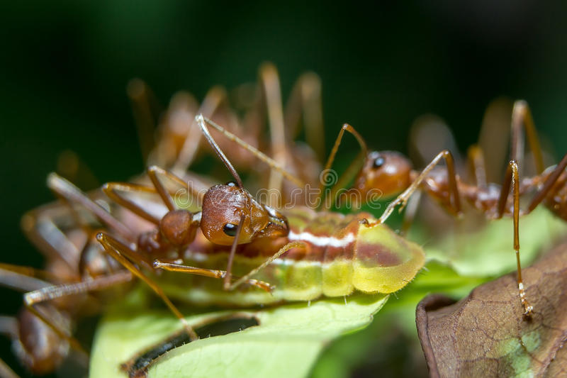 Ants aphids. Close up. Ants protect the aphids are not hurting anything stock photos