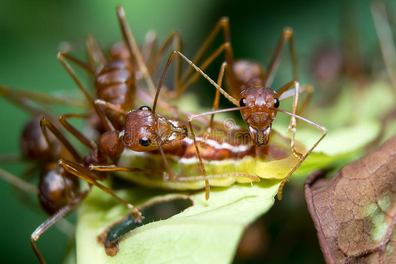 Ants aphids. Close up. Ants protect the aphids are not hurting anything stock images