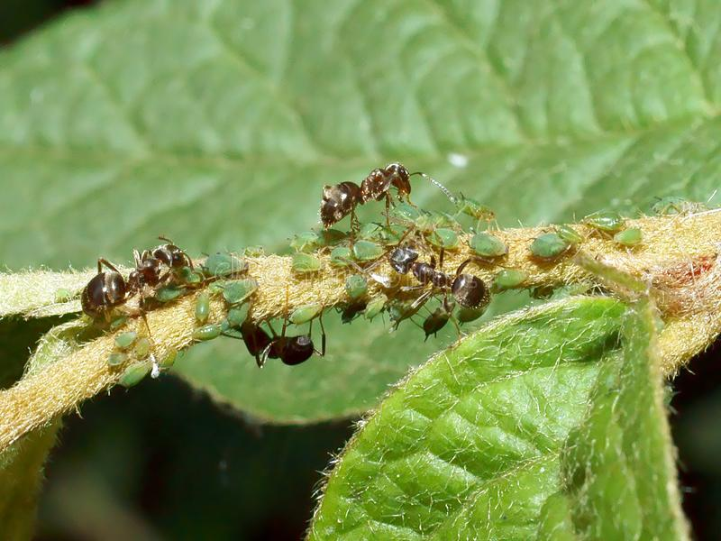 Ants and Aphids. Ants farming aphids on a plant stalk stock images
