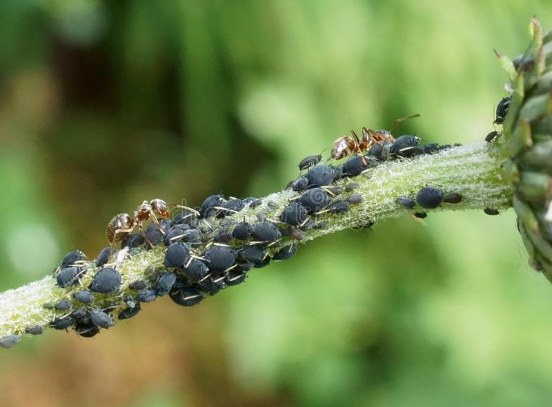 Ants and Aphids. Ants farming aphids on a plant stalk royalty free stock photos