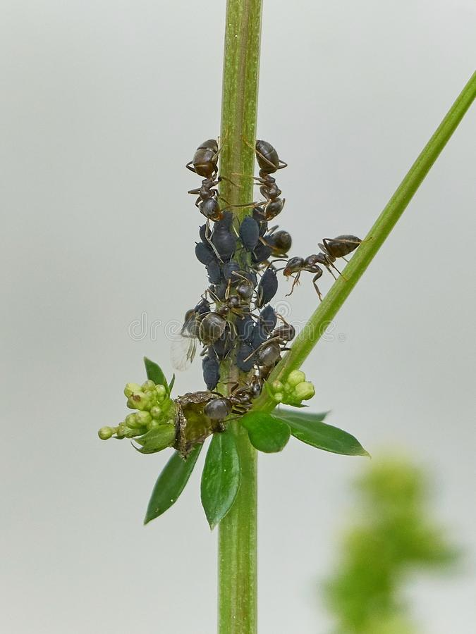 Ants and aphids teamwork. Ants melting aphids on a plant living together in symbiosis helping each other royalty free stock photography