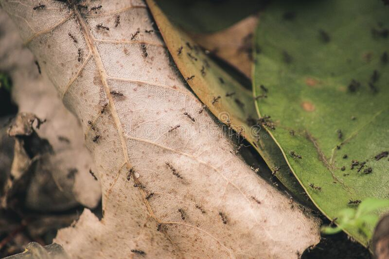 Ants on Brown and Green Leaves royalty free stock photos