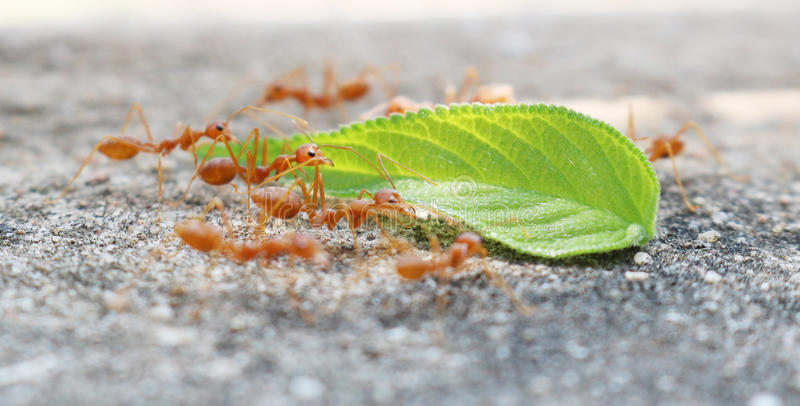 Ants carrying leaf. On concrete floor stock photos