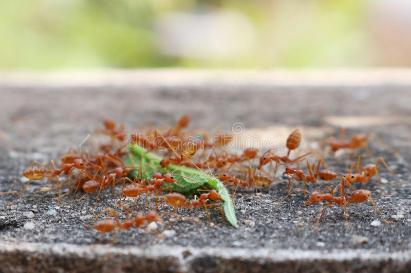 Ants carrying leaf. On concrete floor royalty free stock images