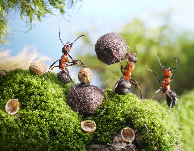 Ants Crack Nuts With Stone, Hands Off! Stock Photos