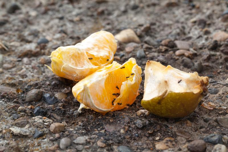 Ants creep over the remains of food after people, nature absorbs. Garbage royalty free stock photo