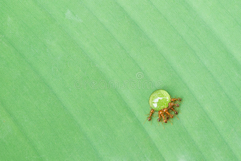 Ants drinking syrup. On green leaf royalty free stock photo