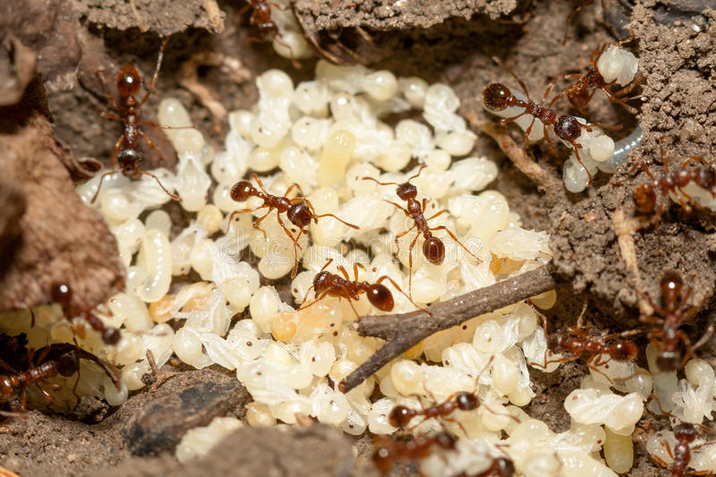 Download Ants with eggs stock photo. Image of nest, invertebrate - 33450178