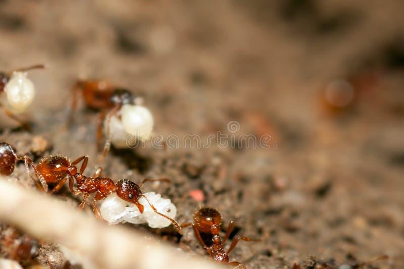 Ants With Eggs Stock Photo