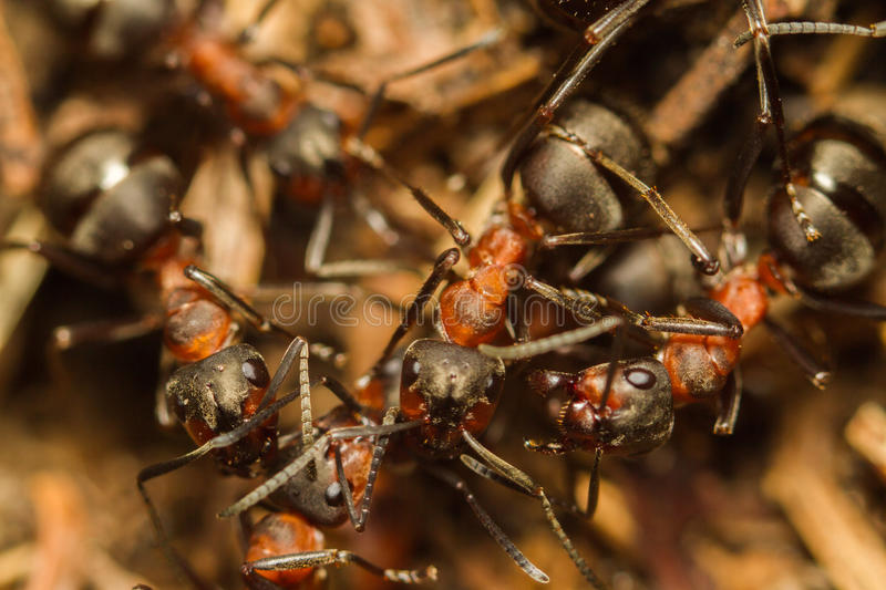Ants. Ants are fearlessly his house guards stock images