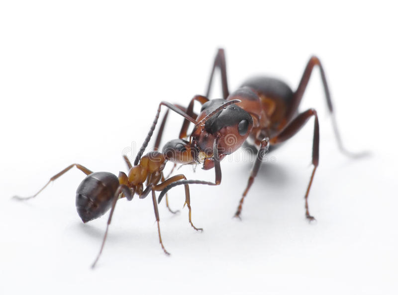 Ants feeding, formica rufa on chid care. Ans feeding, formica rufa look after posterity royalty free stock image