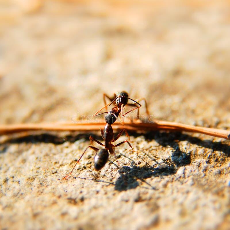 Ants fighting stock photo