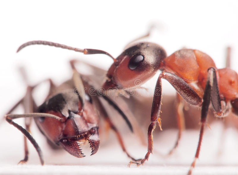 Ants formica rufa conflict. Red ants formica rufa conflict royalty free stock photo