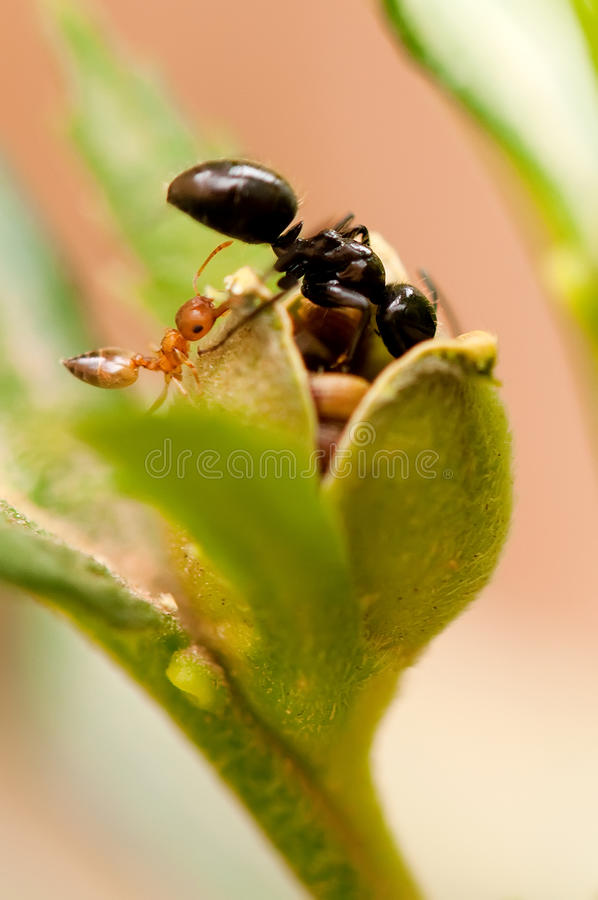 Ants Getting Seeds. African black ants getting seeds from flower pods stock photography