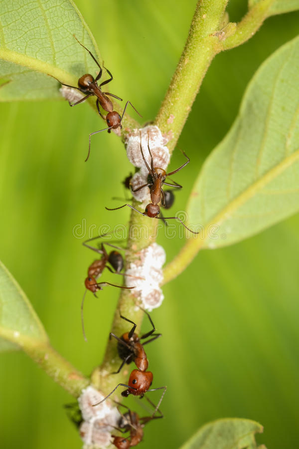 Ants group. Ants taking care of their eggs royalty free stock photos