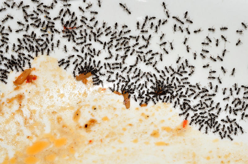 Ants In The Kitchen Stock Photo - Image: 50324185