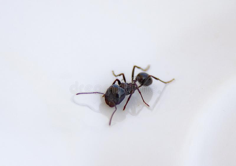 Ants At The Kitchen. Black Ants On A White Background Stock ...