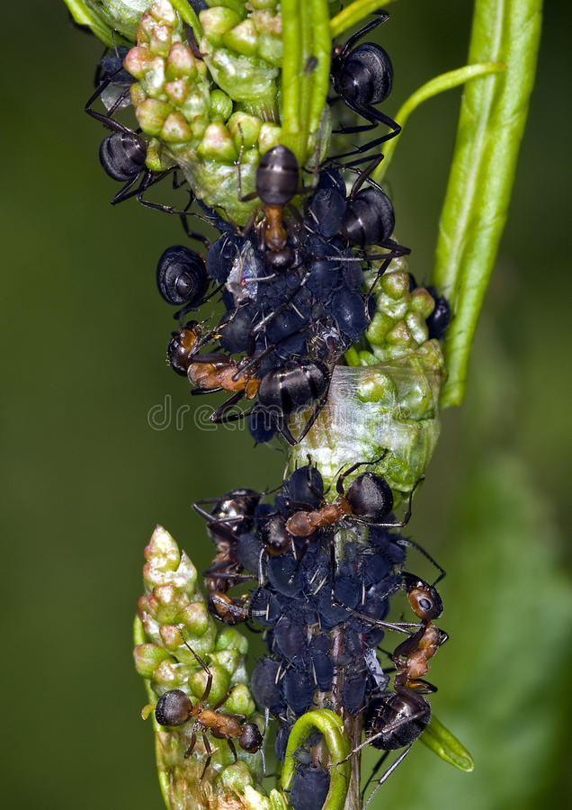 Download Ants and lice stock photo. Image of colony, pest, color - 9777608