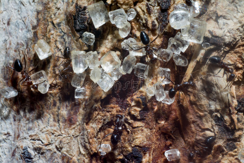 Ants love sugar stock images