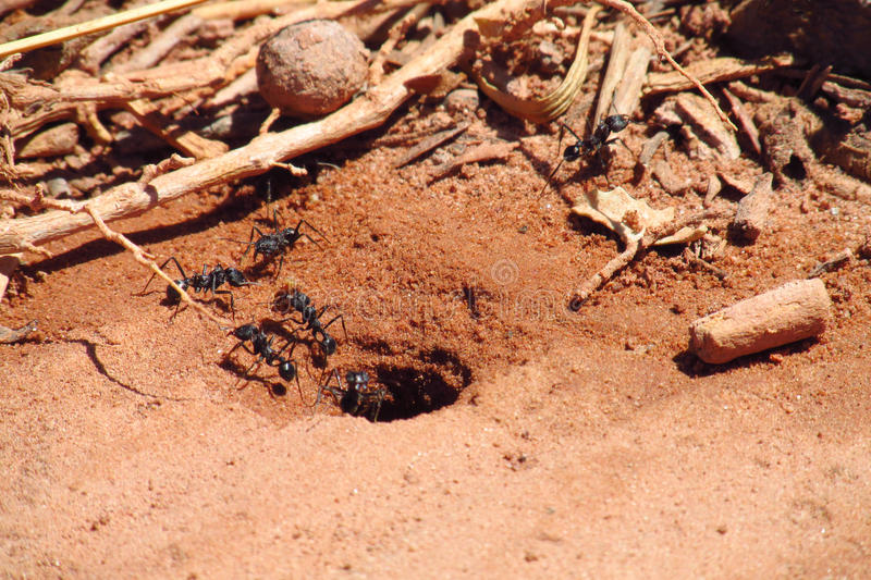 Ants near burrow. Ants working near the burrow hole and a wooden shelter. Black ants on a red sand running, doing the work, carry sticks. Burrow anthill, large royalty free stock photos