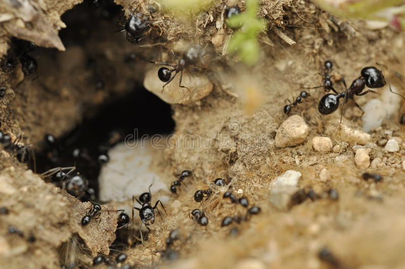 Ants at nest entrance stock images