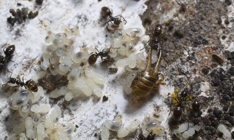 Download Ants nest stock image. Image of color, invertebrate, panic - 31578289