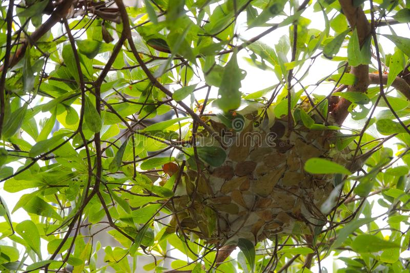 Ants nest from the a leaves. royalty free stock photography