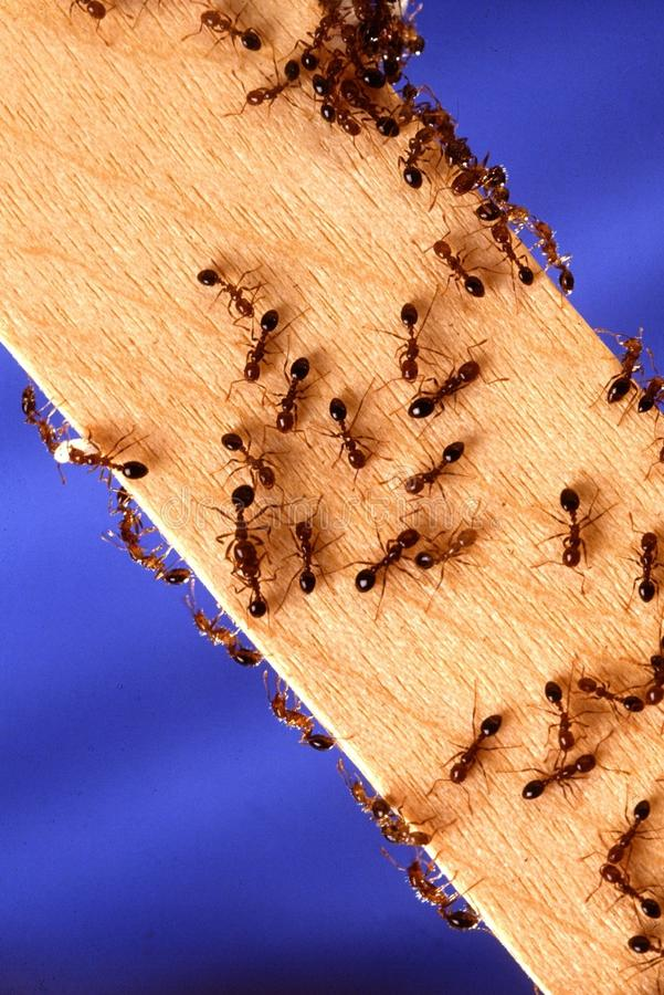 Ants on plank royalty free stock photos