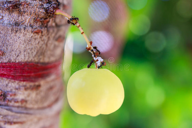Ants are planning. Ants are planning on star gooseberry royalty free stock image