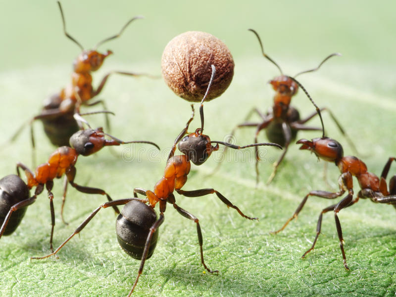 Ants Play Volleyball With Pepper Seed Stock Photography