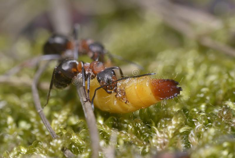 Ants pulling a grub gnawing it. By the way royalty free stock photography