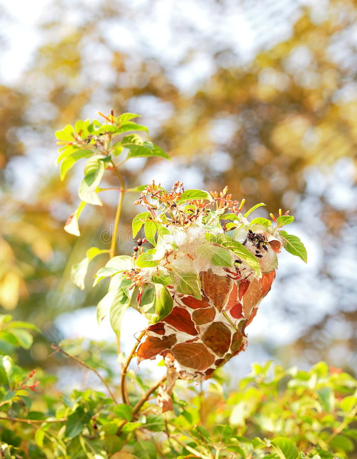 Ants. Red ant nest built from green leaves in a bush in tropical nature stock photos