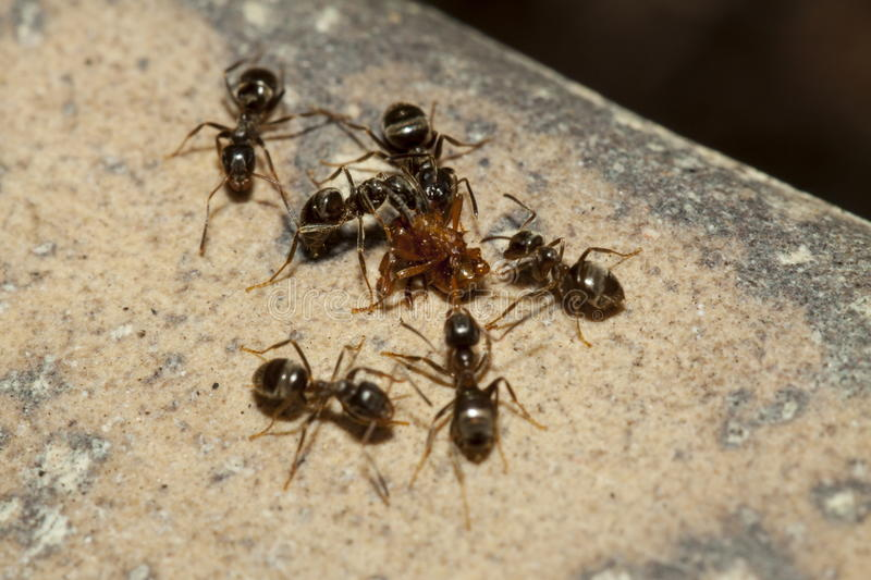 Ants royalty free stock image