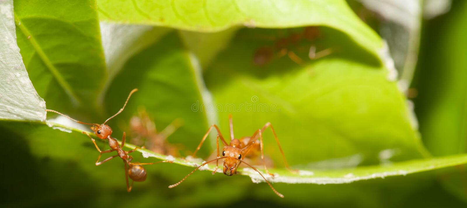 Ants soldier. Protect the house royalty free stock photography