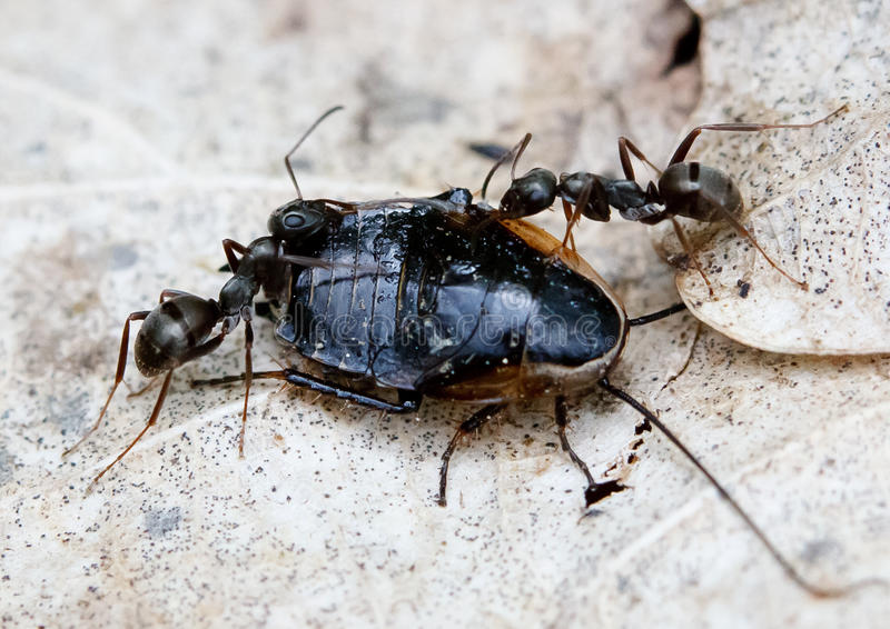 Ants Solenopsis invicta royalty free stock photos