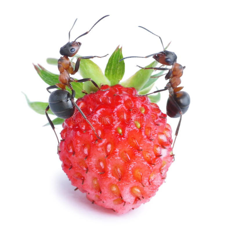 Download Ants and strawberry stock image. Image of formica, macro - 24366741