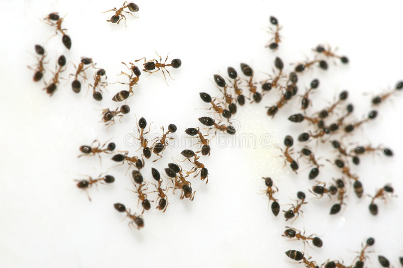 Ants on Sugar stock photos