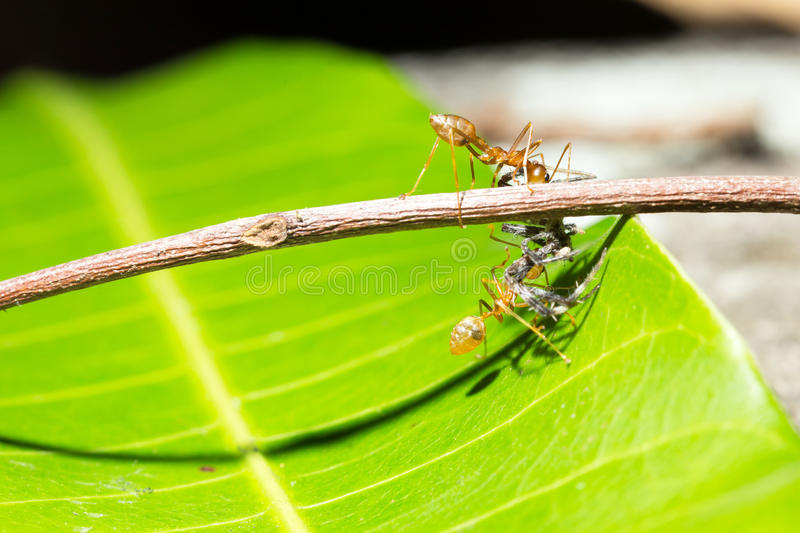 Ants teamwork hunting focused of bait's cricket. The teamwork of ants on green royalty free stock images