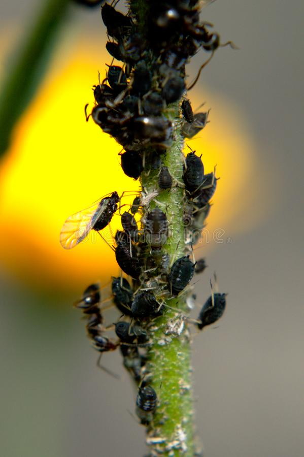 Ants tending aphids stock photo