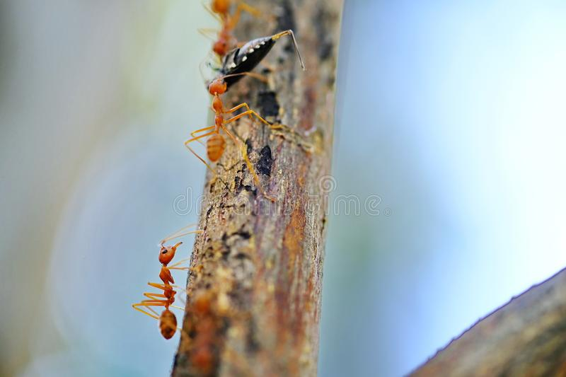 Ants on tree carry insect go to nest. royalty free stock images