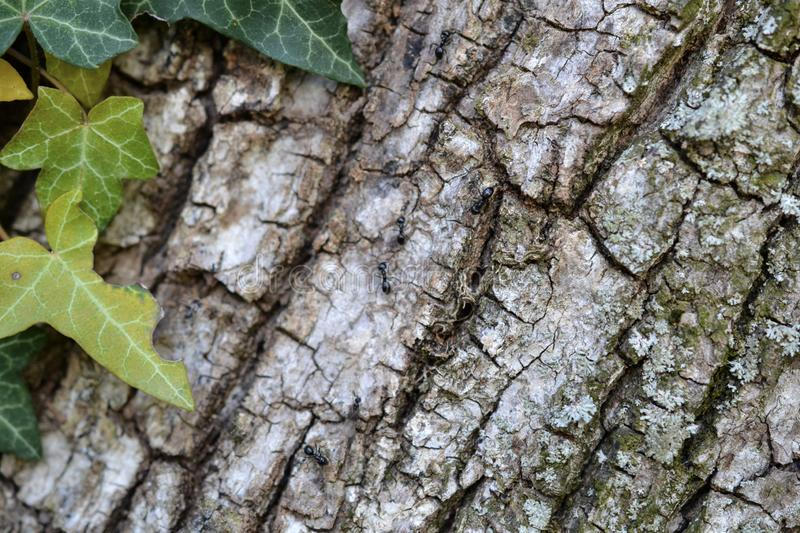 Ants on the tree with ivy leaves and wooden background. To articles or blog pages, for websites or prints stock photos