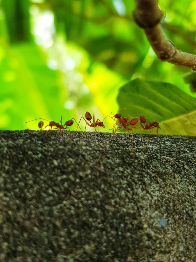 Ants were walking on the edge of fence. The fence was built by brick and cement. Green, leafs, branch royalty free stock photos