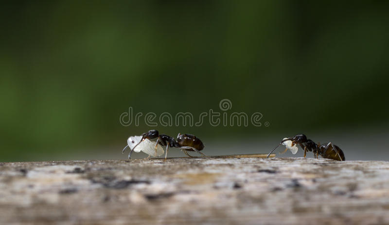 Download Ants at work stock image. Image of organism, pest, animal - 31578249