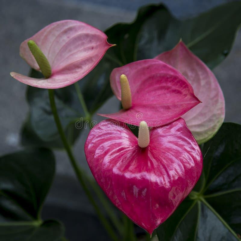 Anturio rosso del fiore di fenicottero immagine stock