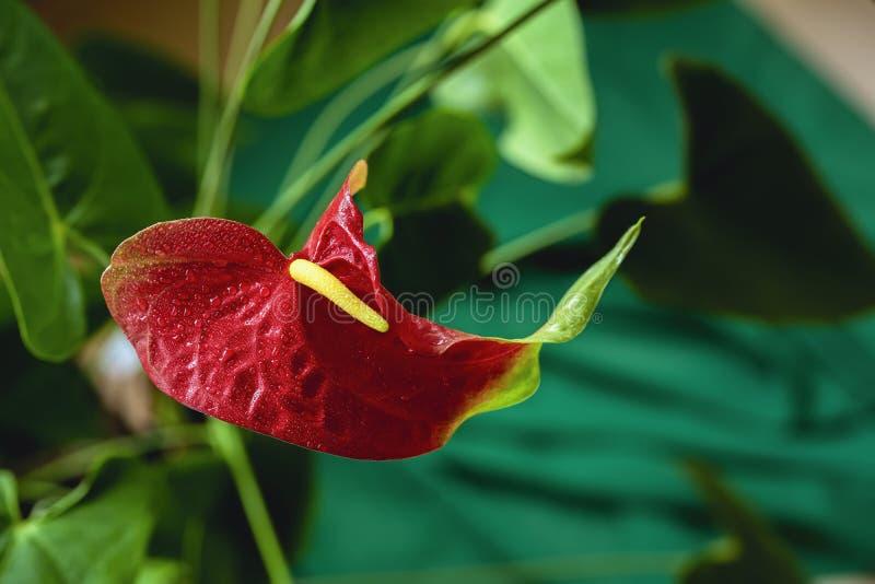 Anturio rosso, giglio del fenicottero, pianta tropicale, fiore di fenicottero immagini stock libere da diritti