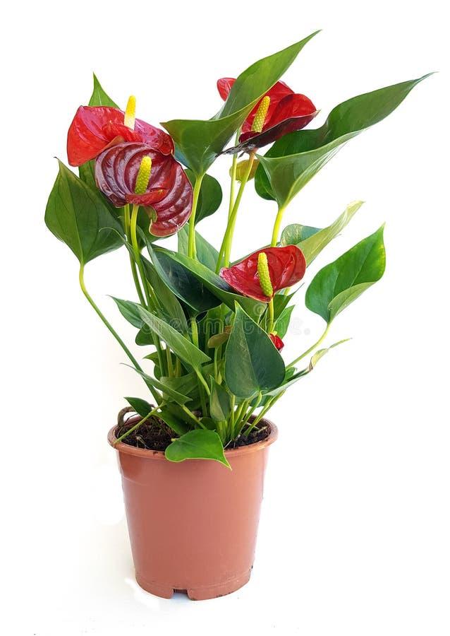 Anturio rosso in vaso su fondo bianco fotografia stock